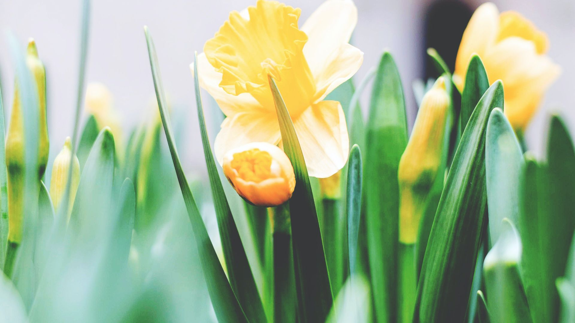 a picture of yellow tulips