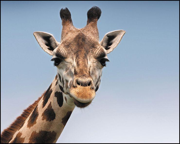 A photo of a giraffe with an aspect ratio of 5:4