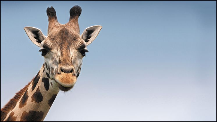 A photo of a giraffe with an aspect ratio of 16:9.