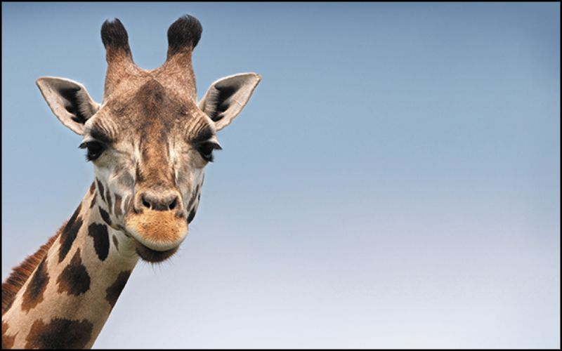 A photo of a giraffe with an aspect ratio of 16:10.