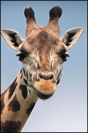 A photo of a giraffe with an aspect ratio of 2:3.
