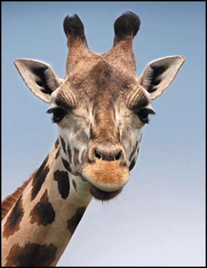 A photo of a giraffe with an aspect ratio of 8.5:11.