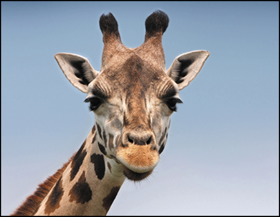 A photo of a giraffe with an aspect ratio of 11:8.5.