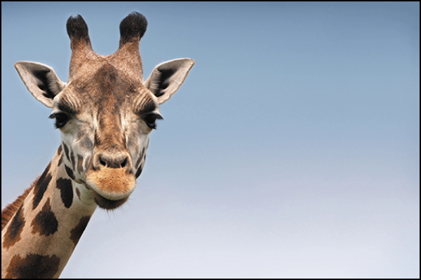 A photo of a giraffe with an aspect ratio of 3:2.