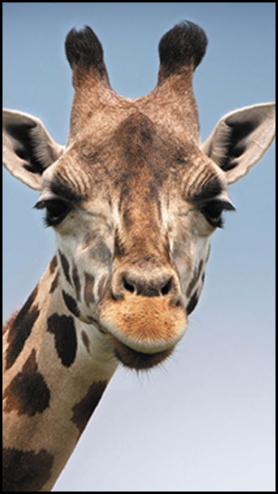 A photo of a giraffe with an aspect ratio of 9:16.