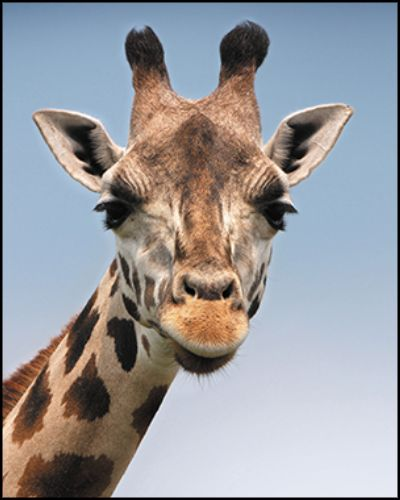 A photo of a giraffe with an aspect ratio of 4:5.